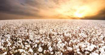 O impacto do clima na cultura do algodão