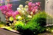 Ludwigia sp. (mini super red) para aquário