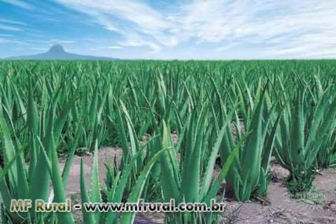 Babosa Barbadensis Miller (Aloe Vera) Mudas ,Plantas adultas, Folhas avulsas