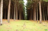 Compro madeira de pinus