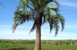 Palmeira Butia