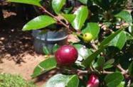 Frutíferas em Geral  ( ATACADO )