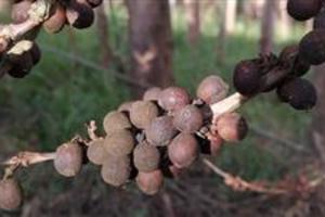 Fungo Verde - Cladosporium - Aplicação em Café
