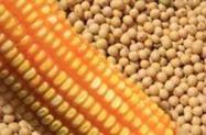 MILHO GMO PARA CONSUMO