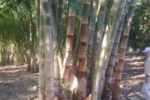 Mudas de bambu