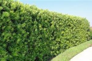 Mudas de Podocarpus no tubete