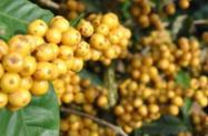 Sementes de Café Arara