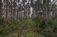 Floresta de eucalipto com 7 a 8 anos