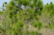 Vendo área plantada de 4 alqueires com 12.000 pés de pinus precoce