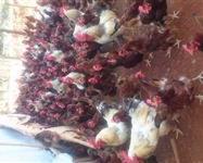 Ovos Galados de Embrapa 051