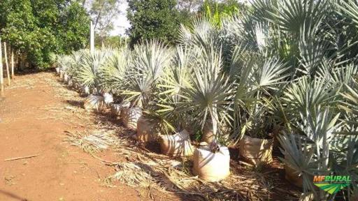 Bismarcki Nobilis (Palmeira Azul)