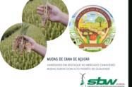 MUDAS DE CANA-DE-AÇÚCAR DE ALTA QUALIDADE - Temos mudas para alimentação animal, gado, caldo de cana