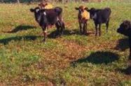 plantel de gado leitero