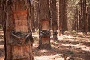 Resina de pinus