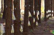 Mato de pinus Elliot