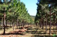 Procuro terras para plantio de pinus