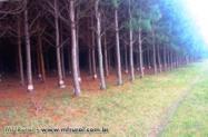 Arrendamento de floresta de Pinus Elliotis para extração de resinas.
