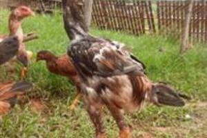 Ovos e pintinhos Indio Gigante
