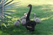 Cisne Negro Filhotes