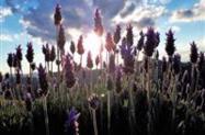 Flor de Lavanda Orgânica