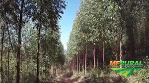 FLORESTA E FAZENDA A VENDA EM SANTA CATARINA 606 HECTARES PLANTADOS EM EUCALIPTO OPORTUNIDADE UNICA