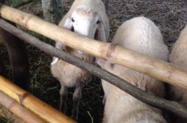 2 carneiros machos saudáveis à venda