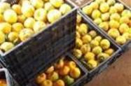 Vendo tangerina pokan