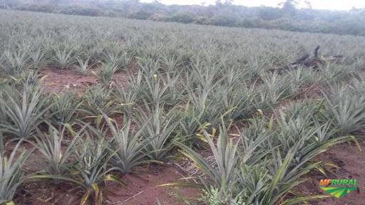 Mudas de abacaxi  pérola