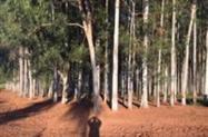 Floresta eucalipto