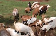 Cabritos e Cabras Raça Boer e Saanen
