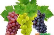 Mudas de Uvas enxertadas - produzem em menos de 1 ano