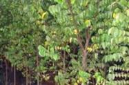 Mudas Frutíferas