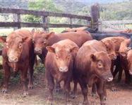 Venda de gado Red Angus