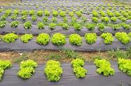 Alface Agroecológico
