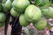 Coco verde em São Gabriel
