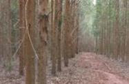 Floresta de Eucalipto em pé