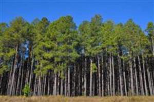 Vendo Floresta de Eucalipto