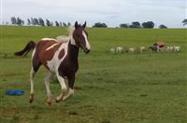 Potro Paint Horse Homozigoto