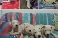 Filhotes Dogo Argentino c/