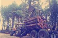 Toras de Pinus elioti