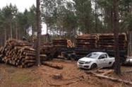 Toras de Pinus