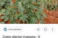 Vendo mamonas