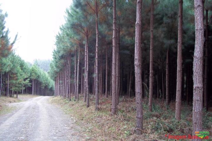 Procuramos pra Arrendar floresta de Pinus Eliottis, Tropical