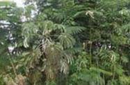 Arvores Nativas em Vasos com porte alto várias mudas nativas