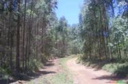 PLANTAÇÃO DE EUCALIPTO UROGRANDIS (Mourão, Lenha, Carvão e Exportação)