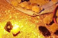 Frangos e galinhas caipiras e de corte