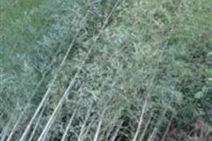 Bambu's