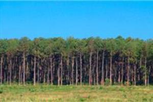 Contrato empresa pra retirar floresta de Pinus em Rancho Queimado SC
