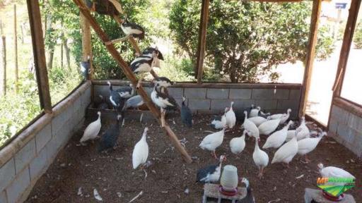 Ovos Galados Galinha da Angola