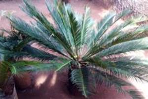 Cycas Revoluta (Sagu-de-Jardim)